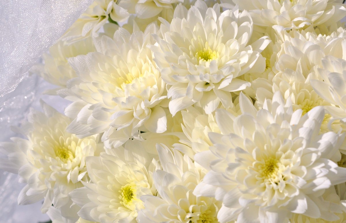 Bouquet of chrysanthemums at a woman's funeral